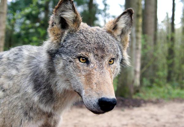 Eekholter Wolfsmeile, Wolf